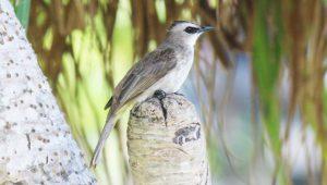 One of flycatchers perching on pandanus trunk.