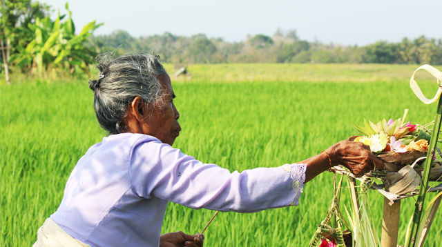 Miseh ritual for paddy plants.