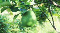 Unripe pomelo on tree